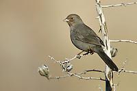 California Towhee - Pipilo crissalis - Adult