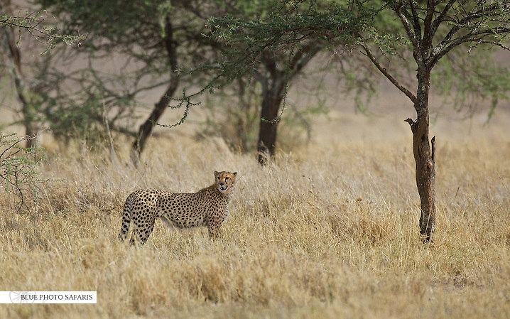 Cheetah hunting the edge of the woodlands
