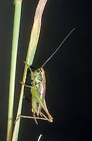 Roesels Beißschrecke, Rösels Beißschrecke, Roesels Beissschrecke, Weibchen, Metrioptera roeselii, Roeseliana roeselii, Roesel's bush cricket, female, Tettigoniidae