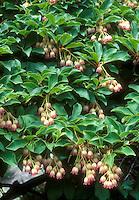 Enkianthus campanulatus shrub in spring flowers