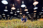 A staffer undertaking training in farming methods tends to the underground rice field in human resource company Pasona Inc.'s 1000-sq.m. organic rice and vegetable farm in central Tokyo, Japan.
