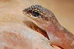 Leaf-toed Gecko (Haemodracon trachyrhinus), endemic to Socotra, Yemen.