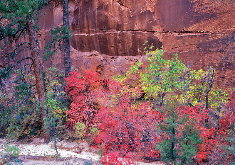 Bigtoothed Maples in fall color in canyon in Zion National Park, Utah