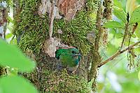 resplendent quetzal, Pharomachrus mocinno, female in nest, Costa Rica, Central America