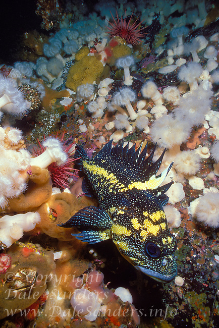 China Rockfish ( Sebastes nebulosus), Queen Charlotte Strait, British Columbia, Canada.