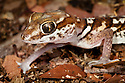 Big eyed / headed gecko {Paroedura pictus} on forest floor. Dry Deciduous Forest, Kirindy Forest, Western Madagascar. October 2009.