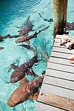 EXUMA, Bahamas. Swimming with docile nurse sharks at the Compass Cay Marina.