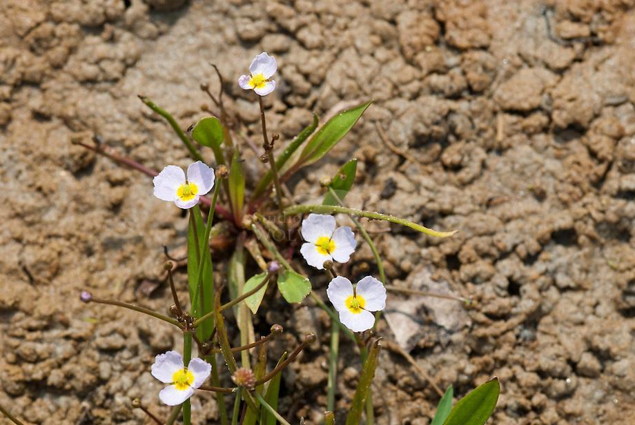 Stijve moerasweegbree (Echinodorus ranunculoides)