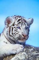 white tiger, a pigmentation variant of the Bengal tiger, Panthera tigris tigris, endangered species, cub, India, Asia