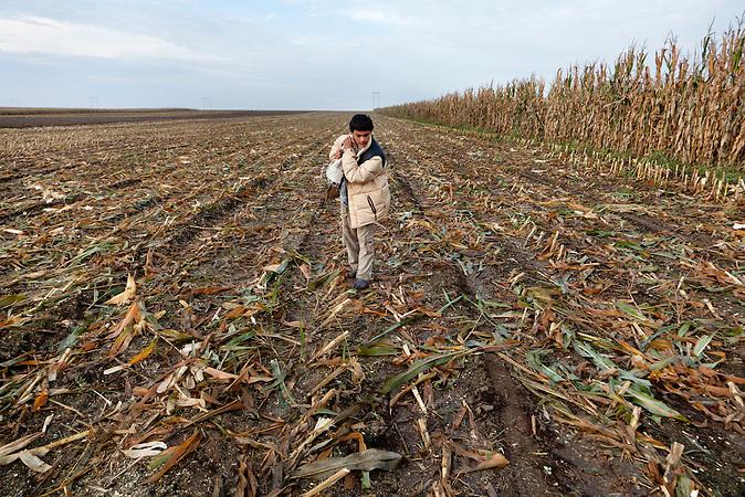 Cantavir, Vojvodina, Serbien,  29.09.2010: Mais, der von den Bauern nach der Ernte liegen gelassen wurde, steht den Armen zur Verfuegung. Andor sammelt Mais auf, den seine Familie spaeter verkaufen wird.<br /><br /> <br /> Cantavir, Serbia, 29.09.2010: During corn-harvest some corn is left on the fields from the industrial harvester. Andor and his family are collecting what remains. Later they are going to sell it.