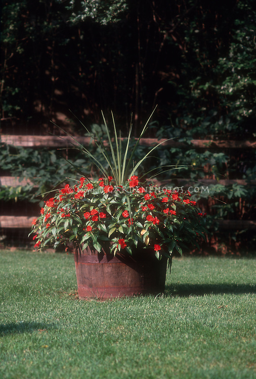Large barrel planter of annual impatiens red flowers and Dracena spikes, on lawn grass with post and rail wooden fence