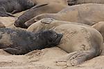 elephant seal nursing