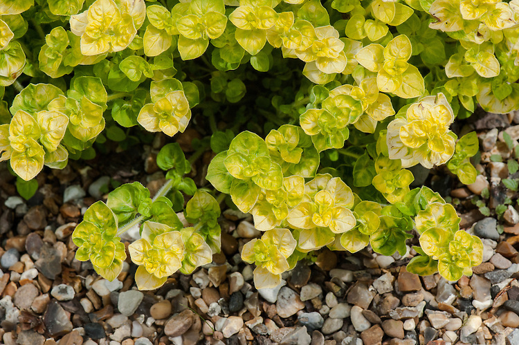 Origanum vulgare 'Aureum Crispum', late May. A form of oregano with attractive, crinkled, curly, golden leaves.