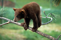 Black bear cub in a tree