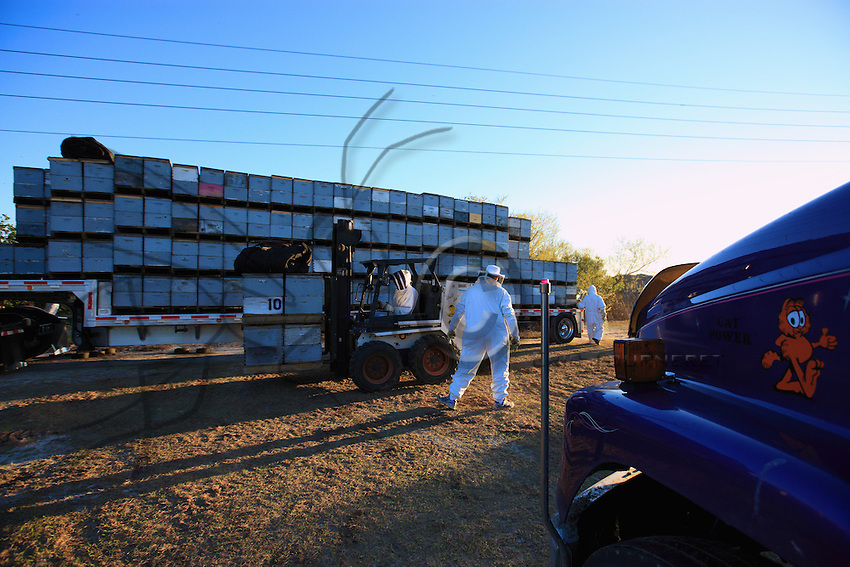 At nightfall, 444 hives are put in the truck's trailer with a forklift.