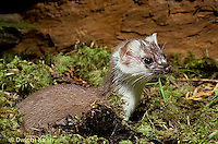 MA01-020x  Short-Tailed Weasel - ermine changing from white to brown in autumn - Mustela erminea
