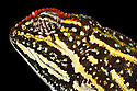 Campani Chameleon {Furcifer campani}, Eastern tropical rainforest, Madagascar. IUCN Vulnerable Species.