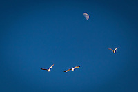 Three gulls and a first quater moon in a clear blue sky.