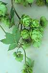 Close up of stems of fresh green Hop or Humulus lupulus with leaves and scaly fruits developing lying on antique paper