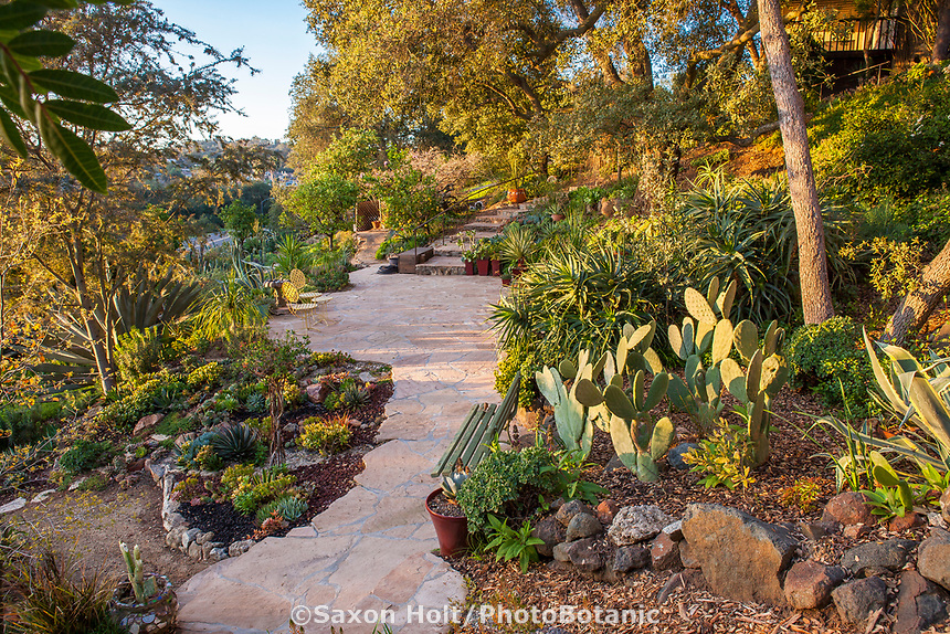 Pathway and stone patio in Debra Lee Baldwin Southern California cactus and succulent garden with Opuntia ficus-indica, Prickly Pear or Indian fig cactus