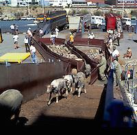 Sheep being loaded on board a transport ship, destination middle east. Brisbane Australia 1980.