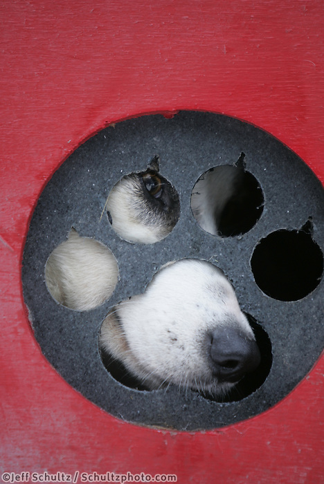 """Tim Osmar's dog """"Handel"""" waits patiently in his dog box at the staging area prior to the Anchorage start of the Iditarod."""