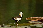 Pheasant-tailed Jacana (Hydrophasianus chirurgus) in breeding plumage, Diyasaru Park, Colombo, Sri Lanka