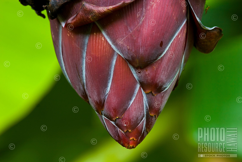 Large purple flower hangs from the bottom of a bunch of bananas