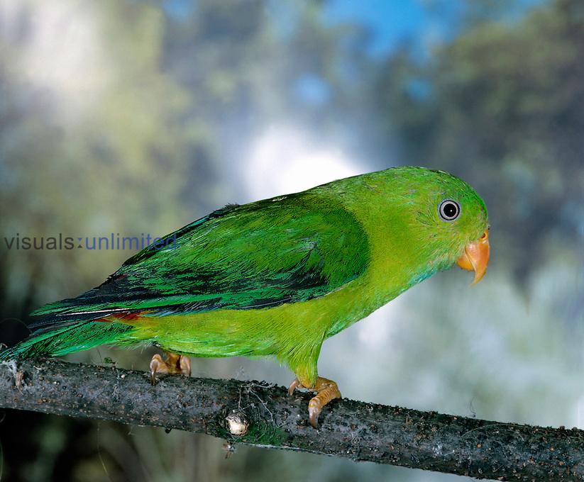 Eclectus Parrot (Eclectus roratus) male, Australia