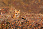 A red fox lays in the autumn tundra in Denali National Park, Alaska.