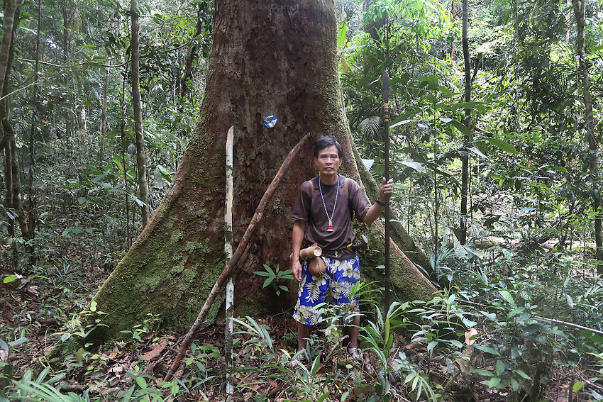 A Penan chief standing next to a 'nailed' tree, marked with a tin can nailed to the tree, in Sarawak's Primary rainforest. They nail the tree with hundreds of 15 cm long nails making it impossible for the tree to be cut down with a chainsaw. Any attempt to cut the tree and it will break the chainsaw and hurt the logger. The Baram Penan indigenous people have successfully blockaded their forest from logging. They are settled since 60 years and resisted against the government logging companies longer than any other native peoples. They founded the &quot;Penan Peace Park&quot;, their name for the rainforest territory around their longhouse settlements, which is still virgin primary rainforest, uncut by loggers. Baram, Sarawak 2014 <br />