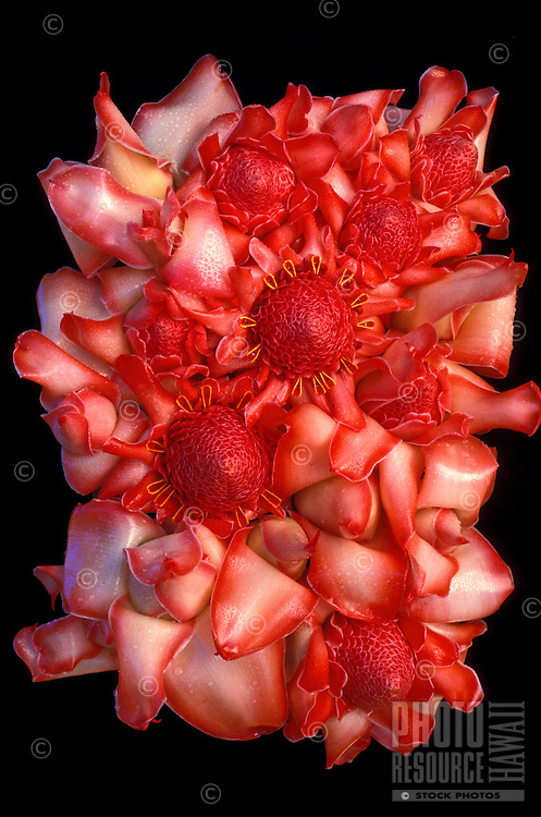 Pink torch gingers (Nicolaia elatior) arranged by Brooke Bearg