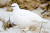 00841-00104 Rock Ptarmigan (Lagopus mutus) Churchill Wildlife Management Area, Churchill, MB Canada