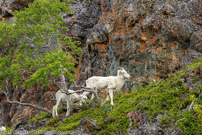 Spring landscape Dall Sheep on slopes and cliffs of the Chugach Mountains in Chugach State Park at Windy Corner area south of Anchorage. Southcentral, Alaska <br /> <br /> Photo by Jeff Schultz (C) 2016  ALL RIGHTS RESERVED