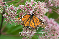 03536-05608 Monarch Butterfly (Danus plexippus) on Joe Pye Weed (Eutrochium pupureum),  Marion Co., IL