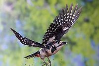 Buntspecht, Männchen, Flug, Flugbild, fliegend, Bunt-Specht, Specht, Spechte, Dendrocopos major, Picoides major, Great spotted woodpecker, male, flight, flying, Pic épeiche