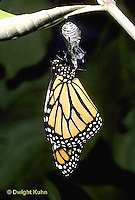 MO04-016z  Monarch Butterfly -adult emerging from chrysalis - Danaus plexippus