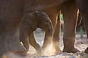 Namibia;  Namib Desert, Skeleton Coast,  desert elephant (Loxodonta africana) calf walking underneath mother's belly