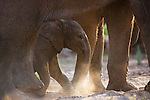 Namibia;  Namib Desert, Skeleton Coast,  desert elephant (Loxodonta africana) calf walking underneath mother's belly
