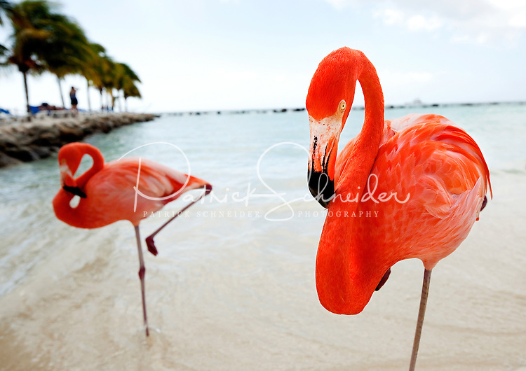 Bright orange flamingos are part of the scenery on private Renaissance Aruba Island in the Caribbean Sea. Renaissance Island, owned by the Marriott chain of hotels, is about 40 acres large with two horseshoe shaped beaches protected from the Caribbean sea currents by rock breakers. Aruba remains a popular tourist destination, with international planes and cruise ships arriving daily. Aruba, part of the Lesser Antilles, is famous for its white sand beaches, blue/green waters and mild climate.