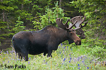 Bull moose in velvet with wildflowers. Snowy Range Mountains, Wyoming.