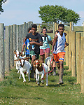 Resettled refugee youth run with goats in Linville, Virginia, on July 17, 2017. The youth are preparing to show sheep and goats in a county fair. <br /> <br /> The refugees were resettled in the Harrisonburg, Virginia, area by Church World Service. <br /> <br /> Photo by Paul Jeffrey for Church World Service.