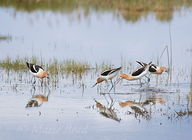 American Avocet (Recurvirostra americana), two pairs during aggressive, territorial interaction, Bear River Migratory Bird Refuge, Utah, USA