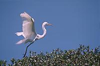 A Great egret (Casmerodius albus) prepares for a landing.