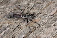 Raubfliege, Weibchen, Neomochtherus melanopus, Neomochtherus alpinus, Paritamus melanopus, Paritamus alpinus, robberfly, robber-fly, Raubfliegen, Mordfliegen, Asilidae, robberflies, robber flies, Kärnten, Österreich
