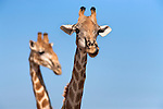 Giraffes, Giraffa camelopardalis,  heads in close up, Kgalagadi Transfrontier Park, Northern Cape, South Africa