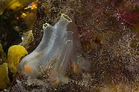 Schlauch-Seescheide, Schlauchseescheide, Seescheide, Schlauchascidie, Schlauch-Ascidie, Schlauch-Manteltier, Durchsichtige Seeurne, Gelbe Seescheide, Ciona intestinalis, sea vase, vase tunicate, yellow sea squirt, La cione, Ascidie, Ascidien, Seescheiden, Ascidiae, ascidians, sea squirts