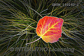 Tom Mackie, LANDSCAPES, LANDSCHAFTEN, PAISAJES, photos,+New Zealand, Tom Mackie, Worldwide, autumn, autumnal, beautiful, close up, close-up, details of nature, detailsofnaturegaller+y, fall, green, horizontally, horizontals, red, restoftheworldgallery, season, single leaf,yellow,New Zealand, Tom Mackie, Wo+rldwide, autumn, autumnal, beautiful, close up, close-up, details of nature, detailsofnaturegallery, fall, green, horizontall+y, horizontals, red, restoftheworldgallery, season, single leaf,yellow+,GBTM160260-1,#L#