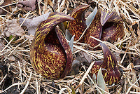 Symplocarpus foetidus flowers (typical reddish blooms emerging before foliage in early spring