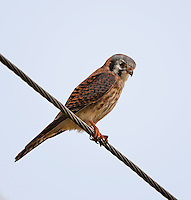 American Kestral, female sittingon wire hunting for prey